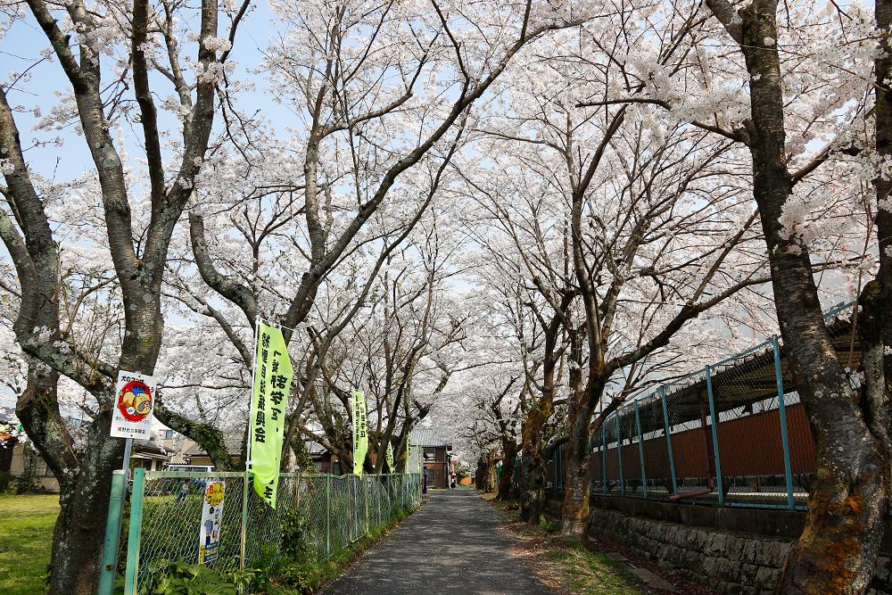 水口町 藤栄神社と水口高校のあいだの桜のトンネル