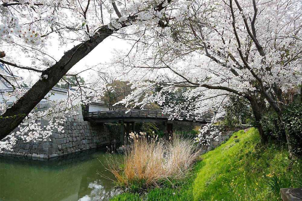 水口町 水口城址の桜(水口高校)