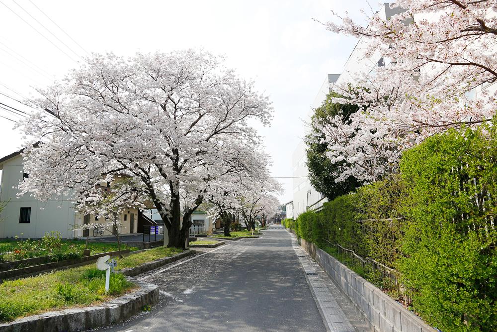 水口町 NECの裏手の道沿いの桜