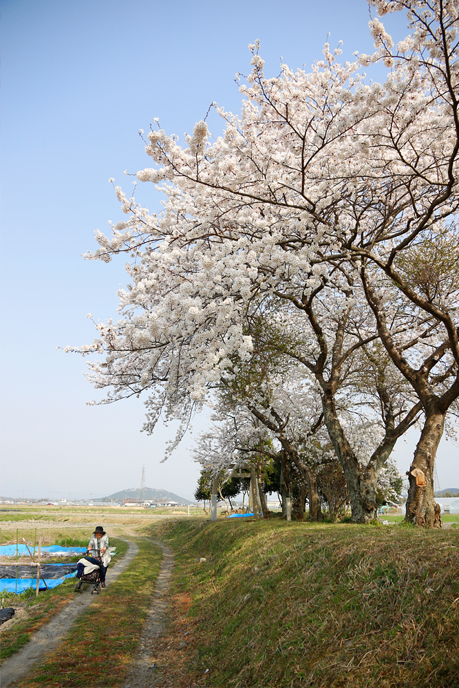 水口町 宇田の八幡神社御旅所の桜